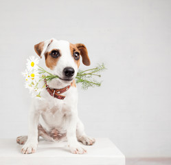 Dog with a bouquet of flowers in a teeth