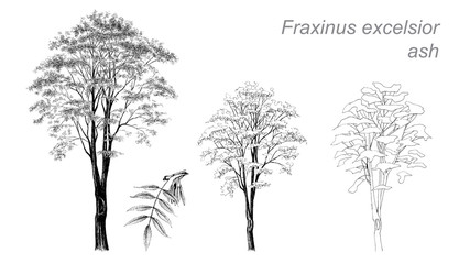 vector drawing of ash (Fraxinus excelsior)