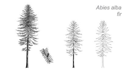 vector drawing of fir (Abies alba)