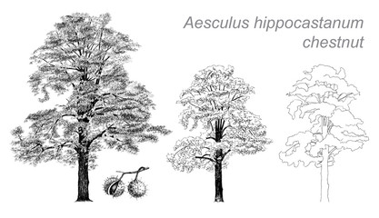 vector drawing of chestnut (Aesculus hippocastanum)