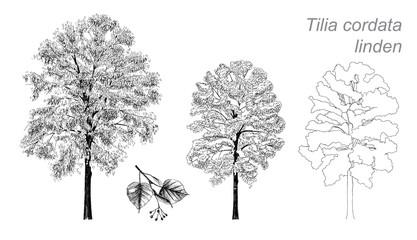 vector drawing of linden (Tilia cordata)