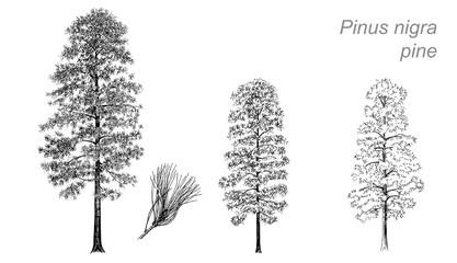 vector drawing of pine (Pinus nigra)