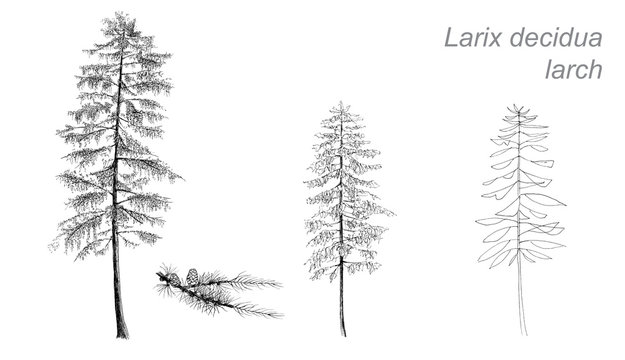 vector drawing of larch (Betula pubescens) with detail
