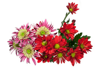 bouquet red and pink chrysanthemums flower on a white background