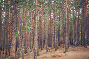 Landscape of pine forest