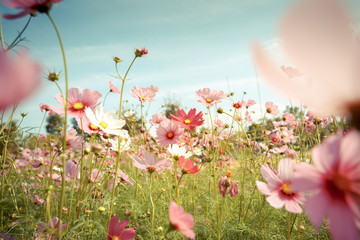 Foto op Canvas Tuin Cosmos flower blossom in garden