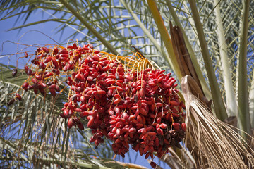 Date palm tree with dates on the background of blue sky