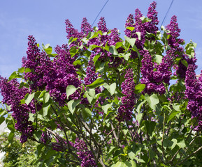 Blooming lilac.