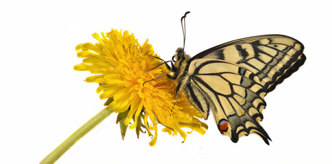 Swallotail (Papilio machaon) sitting on a dandelion