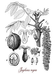 Walnut tree widely cultivated across Europe, botanical vintage e