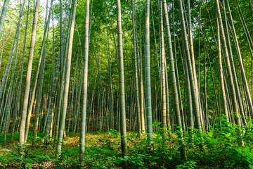 Photo sur Plexiglas Bamboo Green bamboo forest in the summer