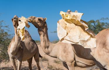 Fotorolgordijn Kameel wild camels in the hot dry middle eastern desert eating plastic garbage waste