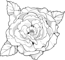 black and white rose in graphic style