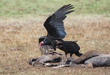 turkey vultures eating a rotten horse - Brazil - Pantanal