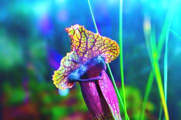plants carnivorous flower sarracenia exornata