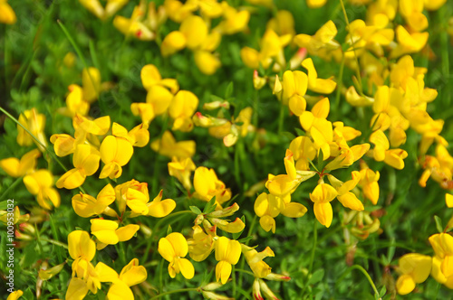 Background Flowering Yellow Broom Flower Stock Photo And Royalty