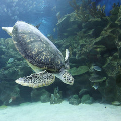 Swimming Turtle underwater