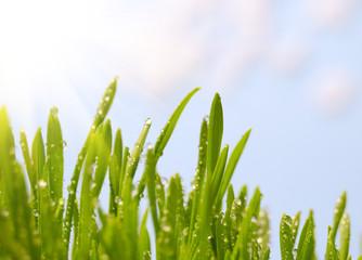 Morning dew on spring green grass