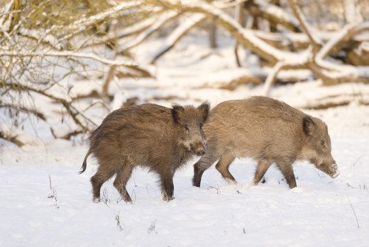 Wildschweine im Morgenlicht
