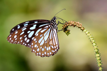 Butterfly with beauty wing on the branch (Blue Glassy Tiger)