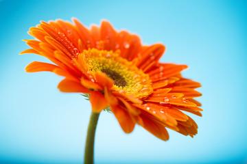 Wet orange petals of gerbera daisy flower