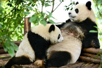Giant panda bear cub and Mother Breastfeeding Chengdu, China