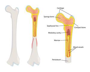 Human bone anatomy, vector