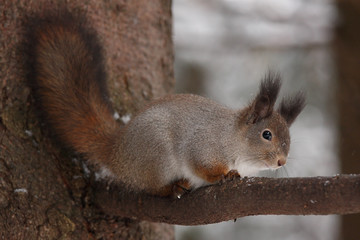 Winter squirrel sitting on a tree.