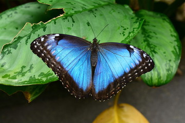 Blue Morpho butterfly lands in the butterfly gardens.