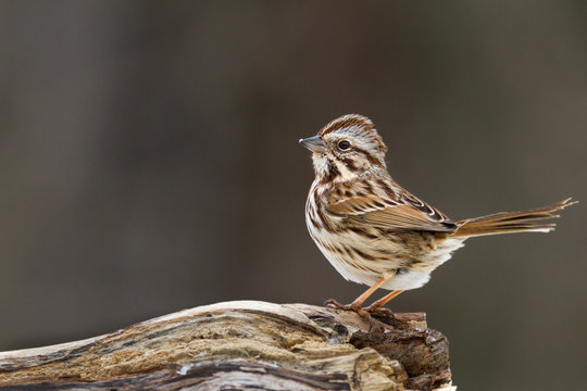 Song Sparrow on Log