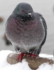 Winter pigeon