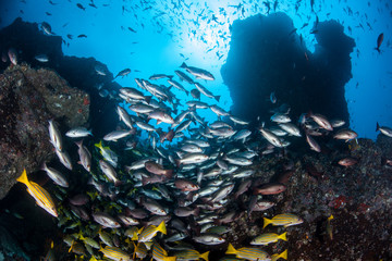 Fish Schooling at Cocos Island