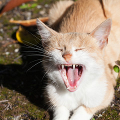 Funny ginger cat laughing or showing his displeasure with mouth