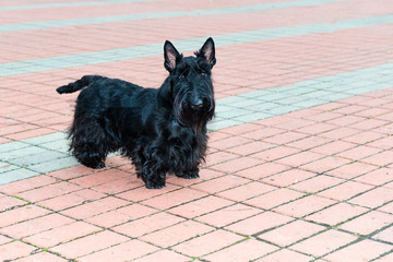 Scottish Terrier. The Scottish Terrier is in the city park.