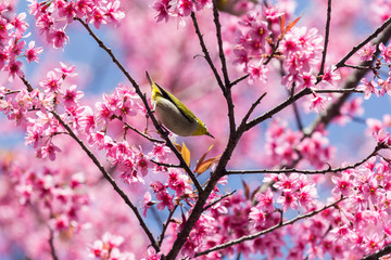 Little bird on wild himalayan cherry tree