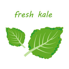 Fresh kale vector illustration