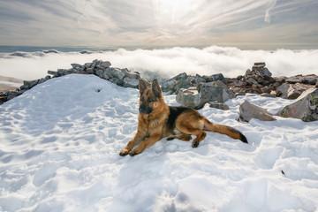 Perro Pastor Alemán tumbado sobre la nieve. Monte Teleno. Montes de León.
