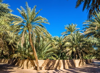 Palm trees in Al Ain Oasis, the Emirate of Abu Dhabi