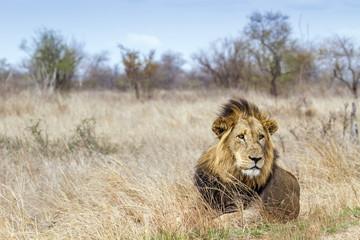 Fotobehang Afrika Lion in Kruger National park