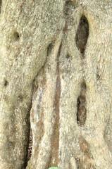 albero di olivo, close up sul tronco, annodato e bucato, formato verticale