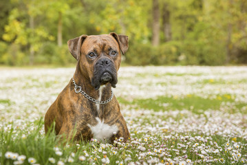 Boxer dog lying in the park on a field of daisies. Horizontal with copy space