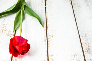 Red tulip on wooden planks background with copy-space