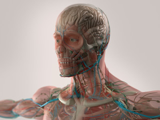 Human anatomy showing face, head, shoulders and chest, brain, bone structure and vascular system.