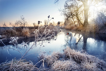 Photo sur Aluminium Bestsellers Winter river with white swan