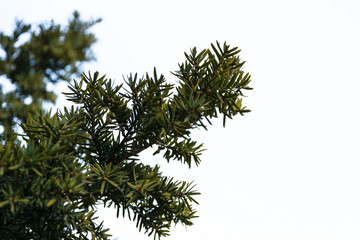 Green leaves of a pine tree.