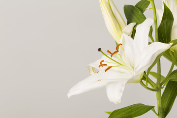 White lily flower in bloom isolated on a grey background
