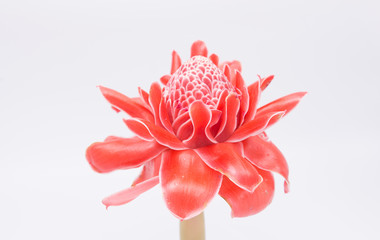 Red flower of torch ginger, etlingera elatior family zingiberace