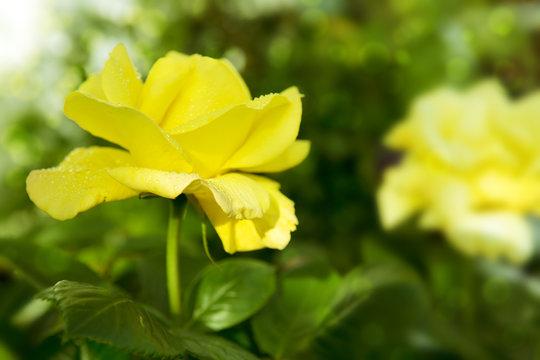 Beautiful yellow rose in a garden.