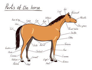 Parts of horse. Equine anatomy. Equestrian scheme with text isolated on white. Hand drawing vector illustration.