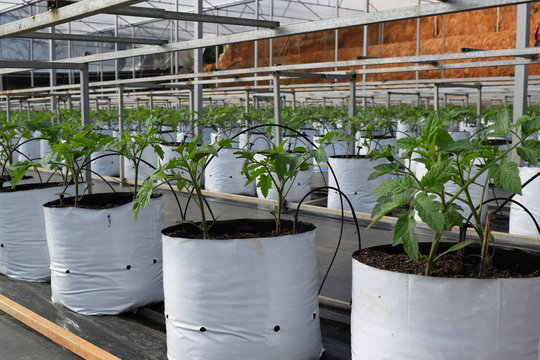 tomatoes plantlet in greenhouse